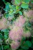 Scumpia - arbusto ou baixa árvore da família de sumac Imagem de Stock Royalty Free
