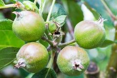 Scumptious-Äpfel stockbild