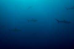 Scuola degli squali serici immagine stock libera da diritti