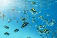 Scuola dei pesci di sergente nell'Oceano Indiano fotografia stock