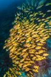 Scuola dei pesci gialli, Maldive fotografie stock