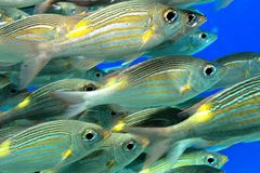 Scuola dei pesci Fotografia Stock Libera da Diritti