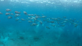 Scuola dei pesci pappagallo di Humphead su una barriera corallina Immagine Stock