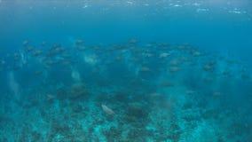 Scuola dei pesci pappagallo di Humphead su una barriera corallina Fotografia Stock