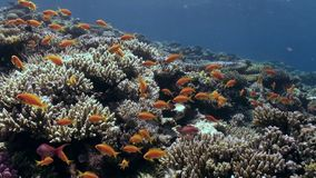 Scuola del dancing arancio luminoso del pesce nel Mar Rosso subacqueo della barriera corallina archivi video