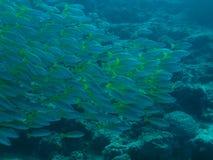 Scuola del jackfish Fotografie Stock