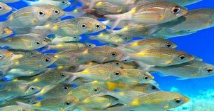 Scuola del pesce fotografie stock
