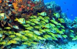 Scuola del pesce Fotografie Stock Libere da Diritti
