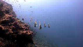 Scuola del pesce della farfalla subacquea su fondo di fondale marino stupefacente in Maldive stock footage