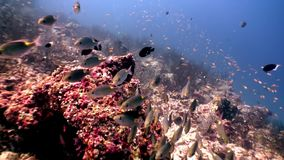 Scuola del pesce della farfalla subacquea su fondo di fondale marino stupefacente in Maldive video d archivio