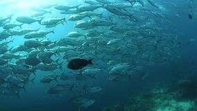 Scuola del pesce della presa a Sipadan archivi video