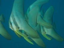 Scuola del pesce dorato della vanga Immagini Stock
