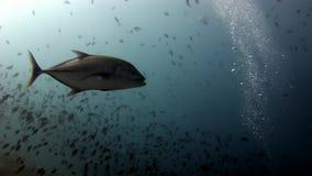 Scuola del pesce e del tonno subacquei su fondo del sole di riflessione in Maldive video d archivio