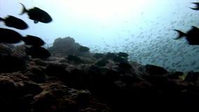 Scuola del pesce e del tonno subacquei su fondo del sole di riflessione in Maldive stock footage