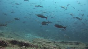 Scuola del pesce in Galapagos stock footage