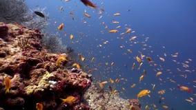 Scuola del pesce giallo arancione luminoso subacqueo su fondo di fondale marino Maldive archivi video