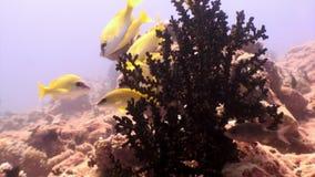 Scuola del pesce giallo a strisce subacqueo su fondo di fondale marino in Maldive archivi video