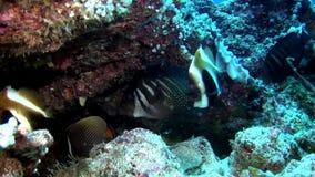 Scuola del pesce a strisce della farfalla subacqueo su fondo di fondale marino in Maldive stock footage