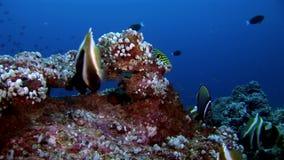 Scuola del pesce a strisce della farfalla subacqueo su fondo di fondale marino in Maldive archivi video