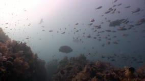 Scuola del pesce subacquea su fondo della riflessione n Maldive del sole stock footage