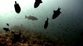 Scuola del pesce subacquea su fondo della riflessione n Maldive del sole archivi video