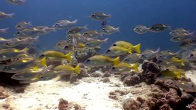 Scuola del pesce subacquea su fondo di fondale marino in Maldive archivi video