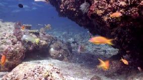 Scuola del pesce subacquea su fondo di fondale marino stupefacente in Maldive stock footage
