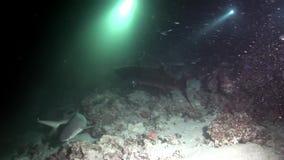 Scuola del pesce subacquea su fondo di fondale marino stupefacente in Maldive video d archivio