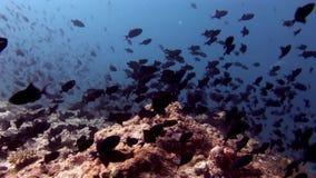 Scuola del pesce subacquea su fondo del fondale marino del sole di riflessione in Maldive stock footage