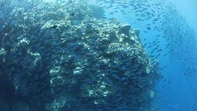 Scuola del pesce sulla barriera corallina nella Repubblica di Palau archivi video
