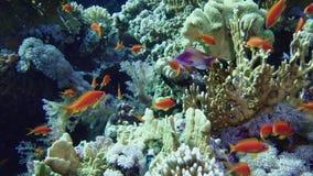 Scuola del pesce tropicale in una barriera corallina variopinta con la superficie dell'acqua nel fondo, Mar Rosso, Egitto archivi video