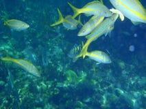 Scuola del pesce underwater vicino alla barriera corallina fotografia stock