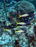 Scuola della triglia gialla - scogliera dell'isola di caimano Fotografia Stock Libera da Diritti