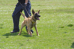Scuola di addestramento di cani. Fotografia Stock