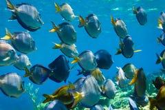 Scuola di nuoto blu del pesce di acanthurus coeruleus di sapore sulla barriera corallina Fotografia Stock Libera da Diritti