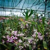 Scuola materna del fiore dell'orchidea della serra Immagini Stock