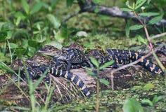 Scuola materna dell'alligatore Fotografie Stock Libere da Diritti