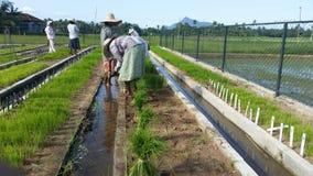 Scuola materna della pianta di riso in Sri Lanka fotografia stock libera da diritti
