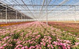 Serra con la fioritura del Chrysanths Fotografia Stock