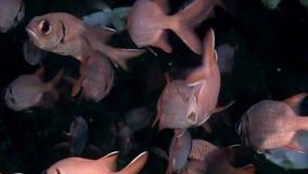 Scuola occhi del branzino del pesce della cernia di grandi subacquei su fondale marino in Maldive archivi video