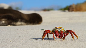 Scurrying About. This sally light-foot crab crawls between uninterested, sleeping sea lions in the twilight sun Stock Photos