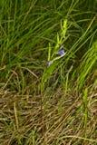 Scutellaria galericulata. Common skullcap, marsh skullcap or hooded skullcap. Blue blooming flower in natural environment Stock Photos