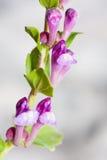 scutellaria rubicunda Стоковые Изображения