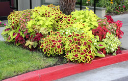Scutellarioides de Plectranthus, groupe de cultivars Photos stock