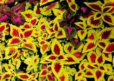 Scutellarioides pintados do Solenostemon da provocação Imagem de Stock Royalty Free