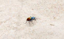 Scutellaris de fête colorés de Tiger Beetle Cicindela sur Sandy Soil images libres de droits