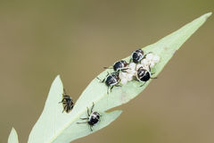 Scutelleridae nymphs Stock Photography