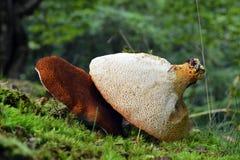 Scutiger pes-caprae mushroom. Rare scutiger pes caprae mushroom in the wild royalty free stock image