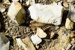 Scutigera Coleoptera runs on the ground with stones. The Flycatcher. Centipede flycatcher, insect predator.  Stock Image