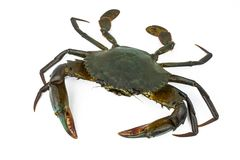 Scylla serrata. Mud crab  on white background with copy space. Raw materials for seafood. Restaurants concept Stock Image